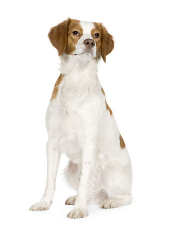 18: Epagneul Breton (18 months) in front of a white background