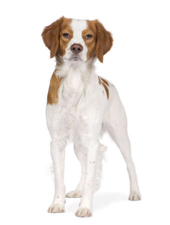 spaniel: Epagneul Breton (18 months) in front of a white background