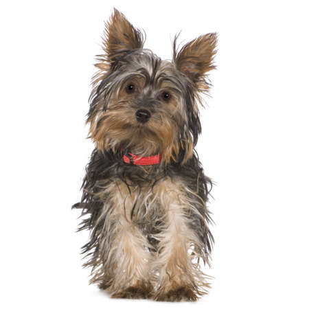 Yorkshire Terrier (5 months) in front of a white background