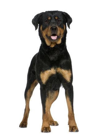bajo y fornido: rottweiler (2 a�os) delante de un fondo blanco