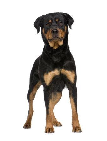 superiority: rottweiler (2 a�os) delante de un fondo blanco