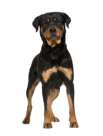 stocky: rottweiler (2 years) in front of a white background