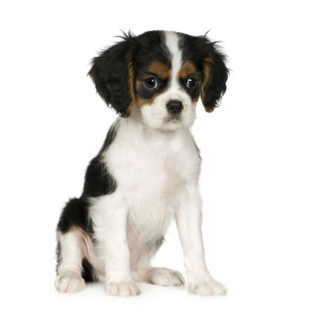 austere: Cavalier King Charles Spaniel (3,5 months) in front of a white background Stock Photo