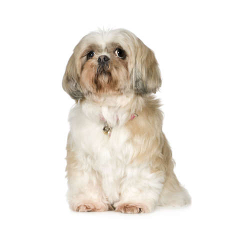 11 years: Shih Tzu (11 years) in front of a white background Stock Photo