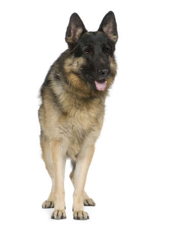 german shepherd (2 years) in front of a white background Stock Photo - 2776247