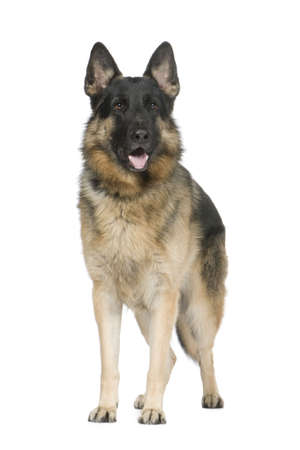 german shepherd (2 years) in front of a white background Stock Photo - 2776151