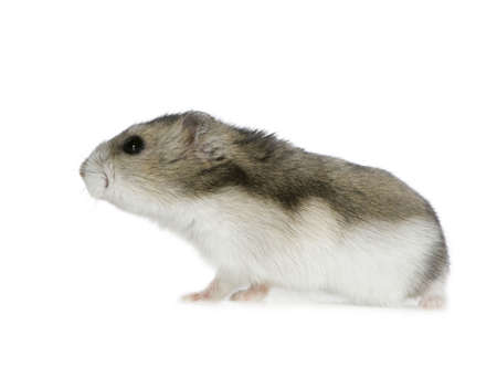 sneaking: Hamster in front of a white background