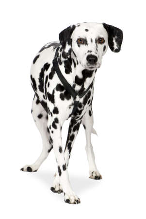 dalmation: Dalmatian (7 years) in front of white background