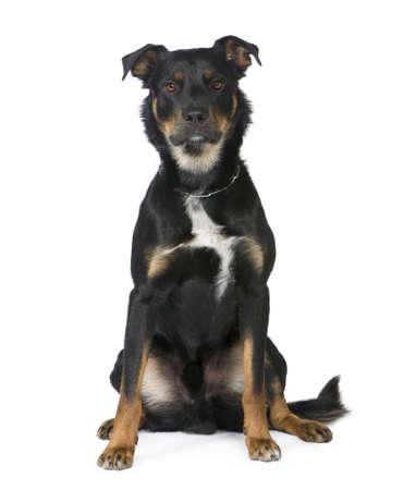 moggi: Crossbreed Beauceron (18 months) in front of a white background Stock Photo