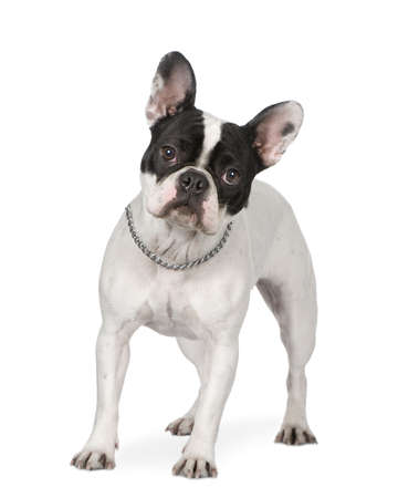 wrinkely: French Bulldog in front of a white background