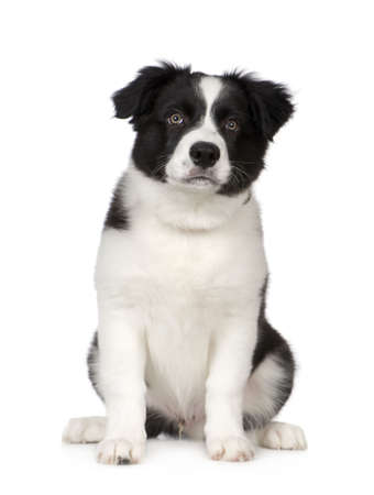 Border Collie Breed Puppy in front of a white background photo