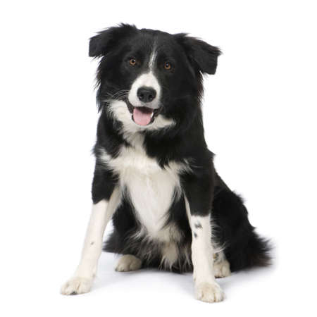 9 months: Border Collie Breed (9 months) in front of a white background