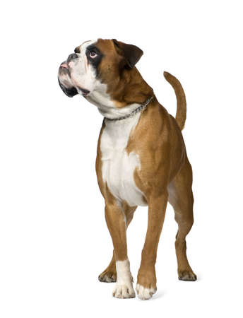 covet: Boxer in front of white background