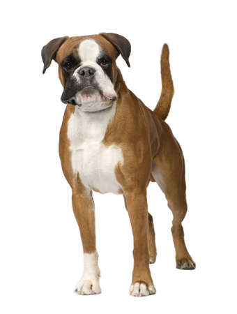 Boxer in front of white background