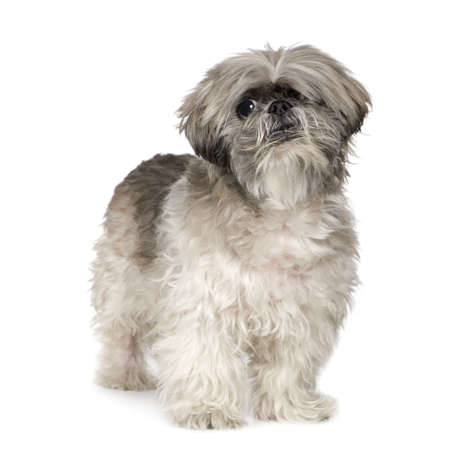 lapdog: Lhasa Apso (6 months) in front of white a background