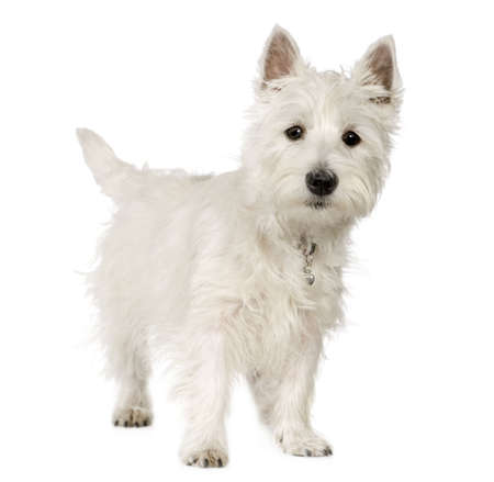 cute westie: West Highland White Terrier (5 months) in front of white background