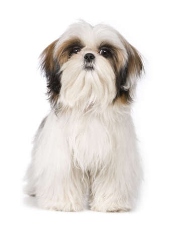 dog sitting: Shih Tzu in front of a white background