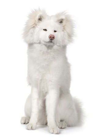 akita: long haired Akita inu (9 months) in front of a white background Stock Photo