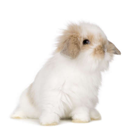 Young Rabbit in front of a white background photo