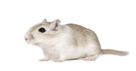 sneaking: Gerbil in front of a white background