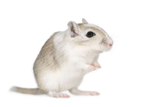 awaiting: Gerbil in front of a white background