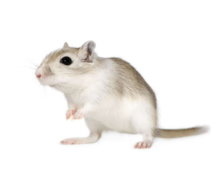 sneaky: Gerbil in front of a white background