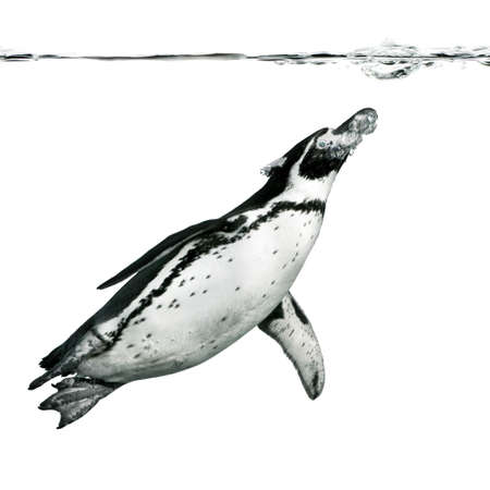 penguin: Humboldt Penguin isolate on white Stock Photo