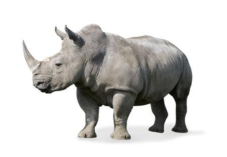 nashorn: Rhinoceros isoliert auf wei�em