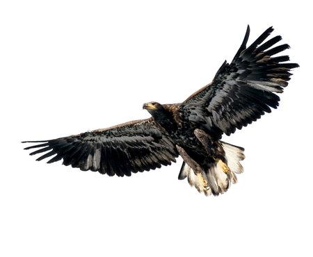 vol d oiseaux: Harris's Hawk isol� sur blanc Banque d'images
