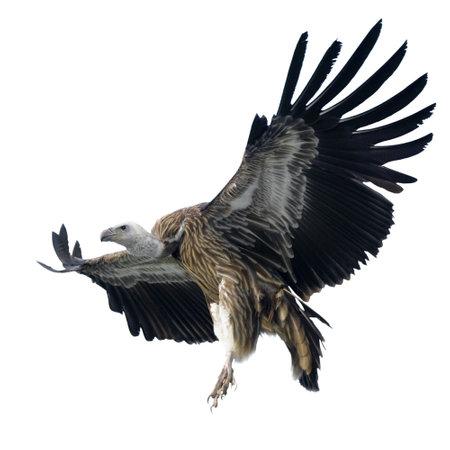 bird of prey: Griffon Vulture - Gyps fulvus isolated on white