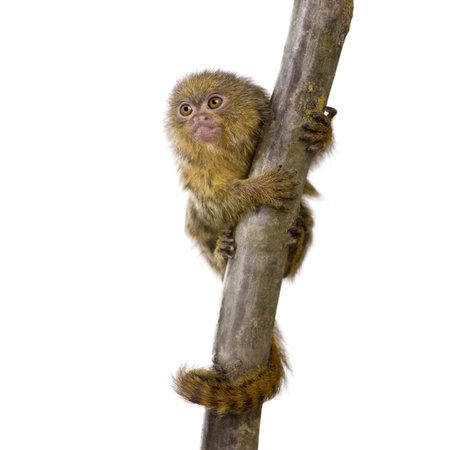 pygmy: Pygmy Marmoset (5 weeks) - Callithrix (Cebuella) pygmaea in front of a white background