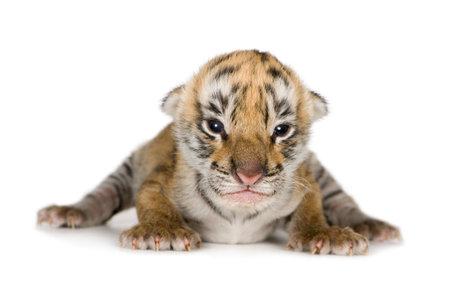 tigre cachorro: Cachorro de tigre (4 d�as) delante de un fondo blanco