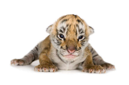 tiger: Tiger cub (4 days) in front of a white background Stock Photo