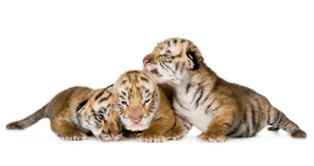 tiger cub: Tigre cub (4 jours), en face de fond blanc  Banque d'images