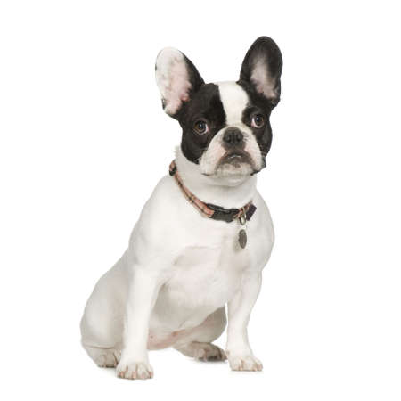 wrinkely: French Bulldog (8 months) in front of a white background