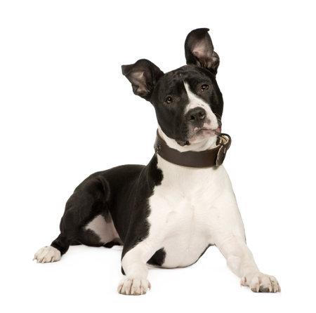 犬歯: Staffordshire アメリカのテリア (8 ヶ月)、白い背景の前に 写真素材