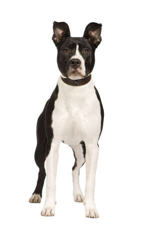 American Staffordshire terrier (8 months) in front of a white background photo