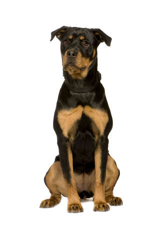 awaiting: Rottweiler (7 months) in front of a white background