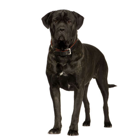 Cane Corso (2 years) in front of a white background