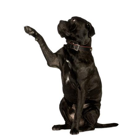 cane corso: Cane Corso (2 anni) di fronte a uno sfondo bianco  Archivio Fotografico