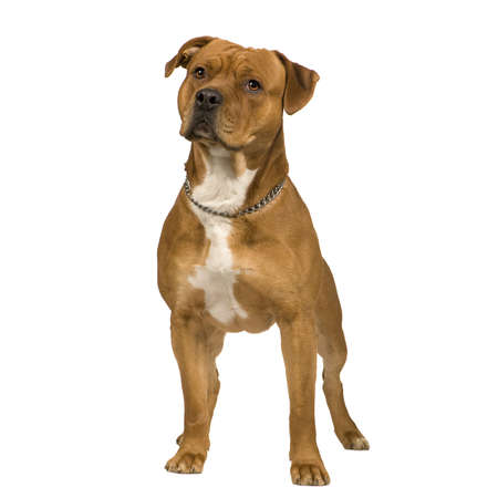 bul: American Staffordshire terrier (2 years) in front of a white background