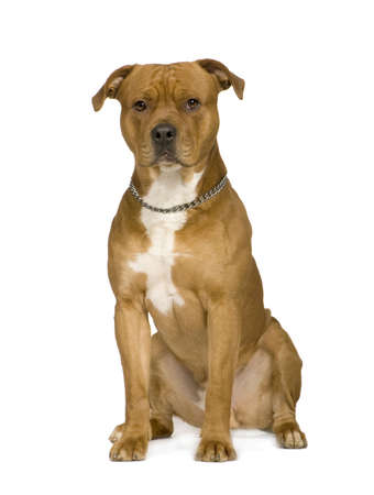 pit bull: American Staffordshire terrier (2 years) in front of a white background