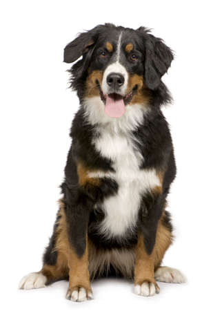 Bernese mountain dog (1 year) in front of a white background photo