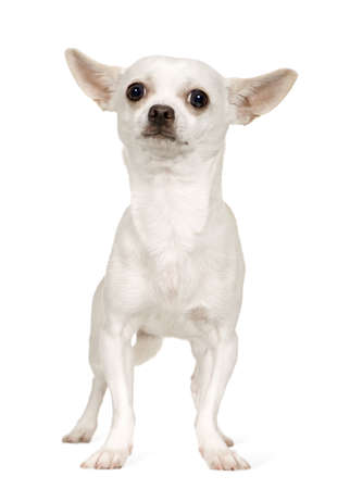 minuscule: Chihuahua (9 months) in front of a white background