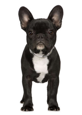 wrinkely: French Bulldog (6 months) in front of a white background
