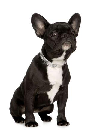 awaiting: French Bulldog (6 months) in front of a white background