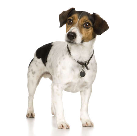 jack russell terrier: Jack russell (4 years) in front of a white background