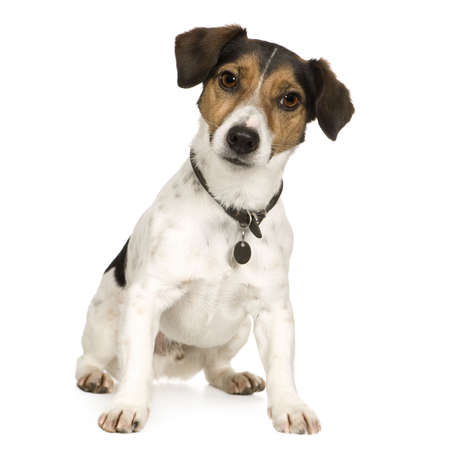 terriers: Jack russell (4 years) in front of a white background