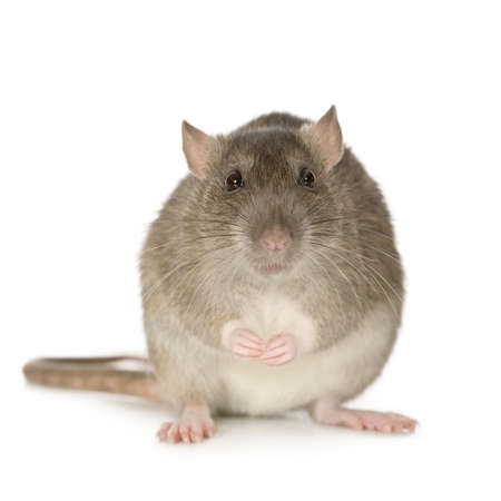 rat: Rat (6 months) in front of a white background