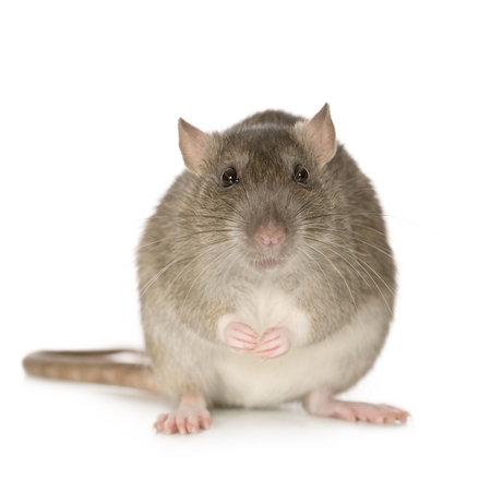 rata: Rata (6 meses) delante de un fondo blanco